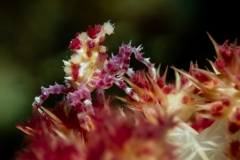 Candy Crab - Hoplophrys