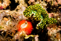 Jolly green nudibranch - Miamira sinuata