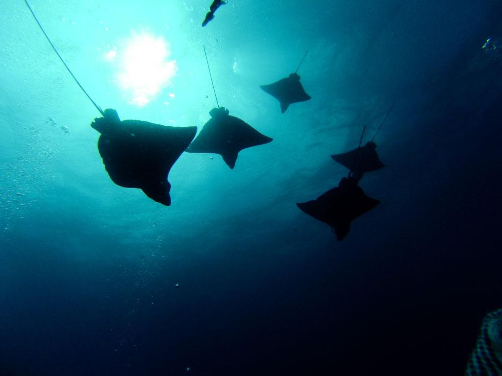 eagle rays galapagos