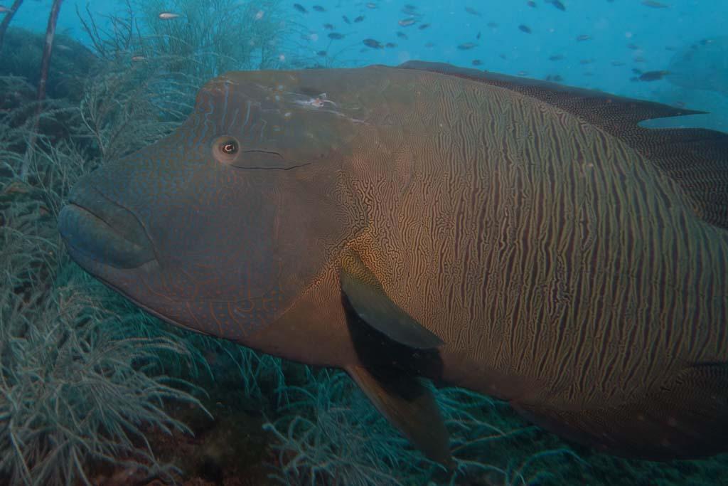 grouper yongala