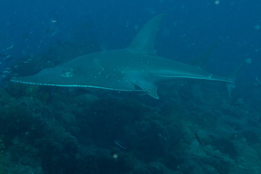 guitar shark