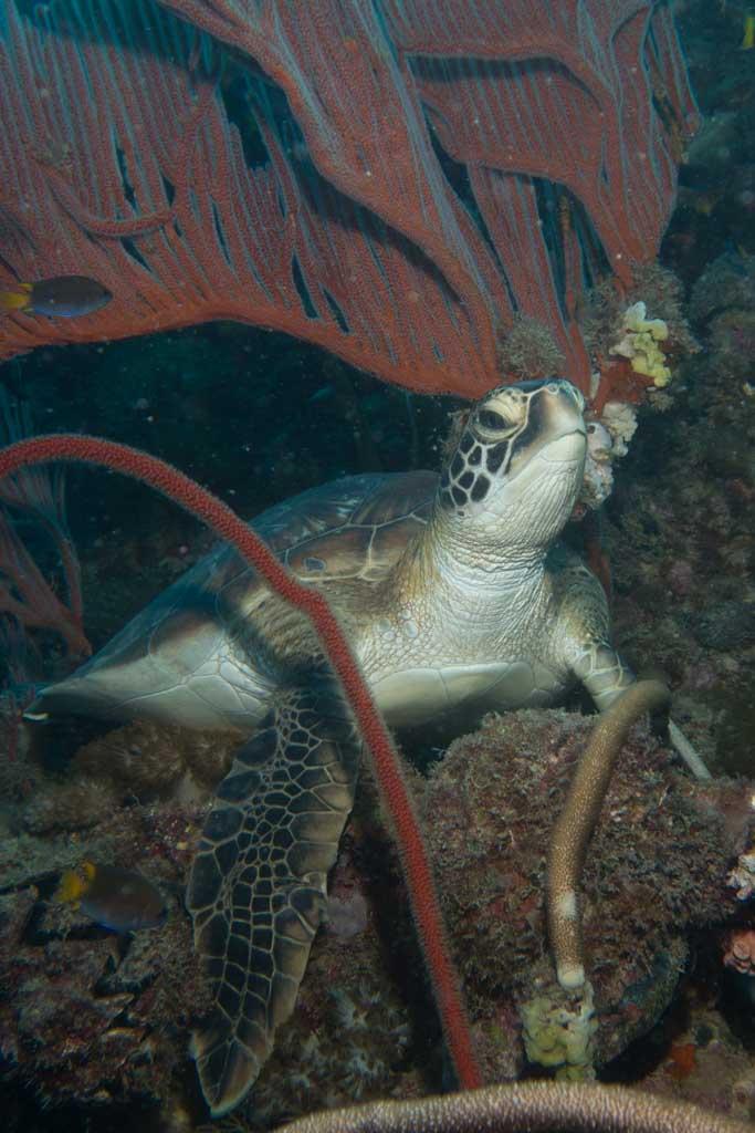 turtle yongala