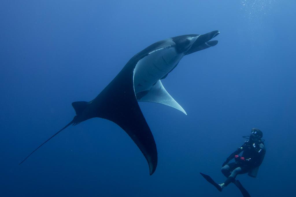 dive with manta