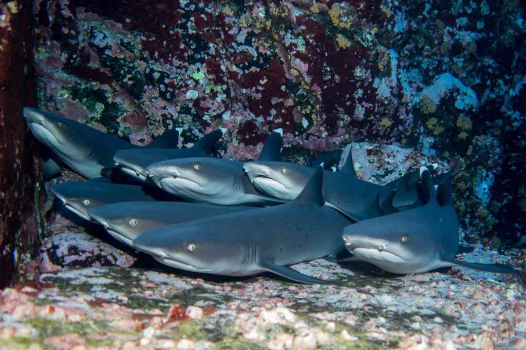 white tip reef sharks pile