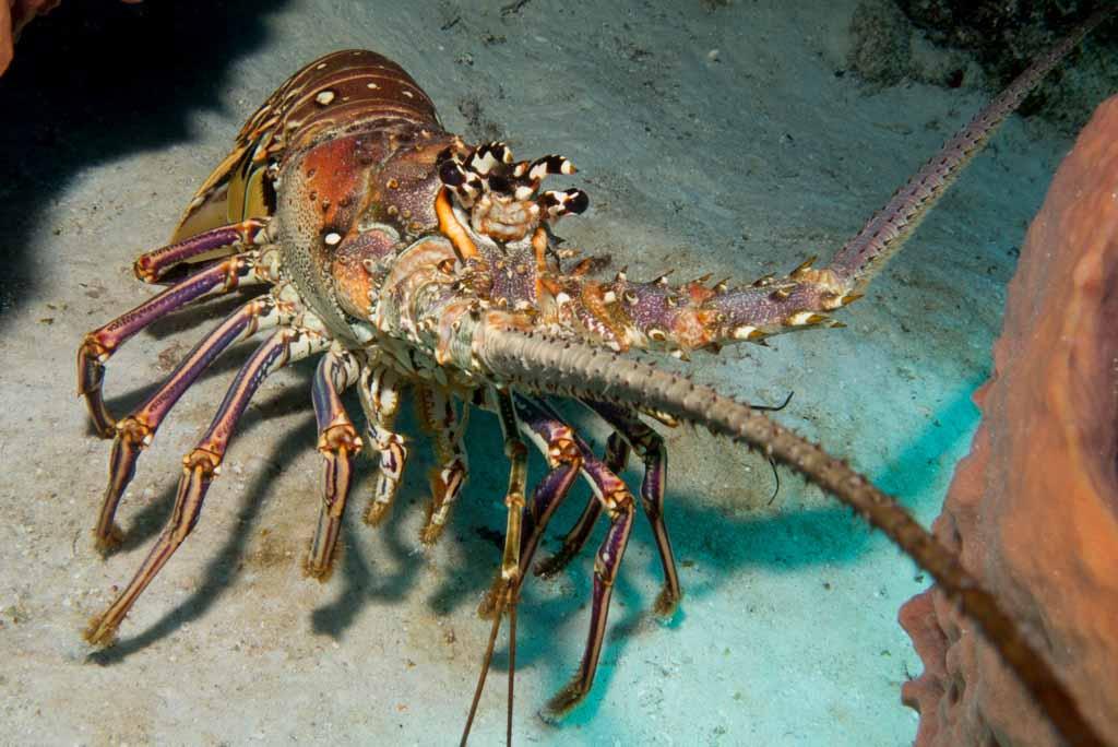 lobster cozumel