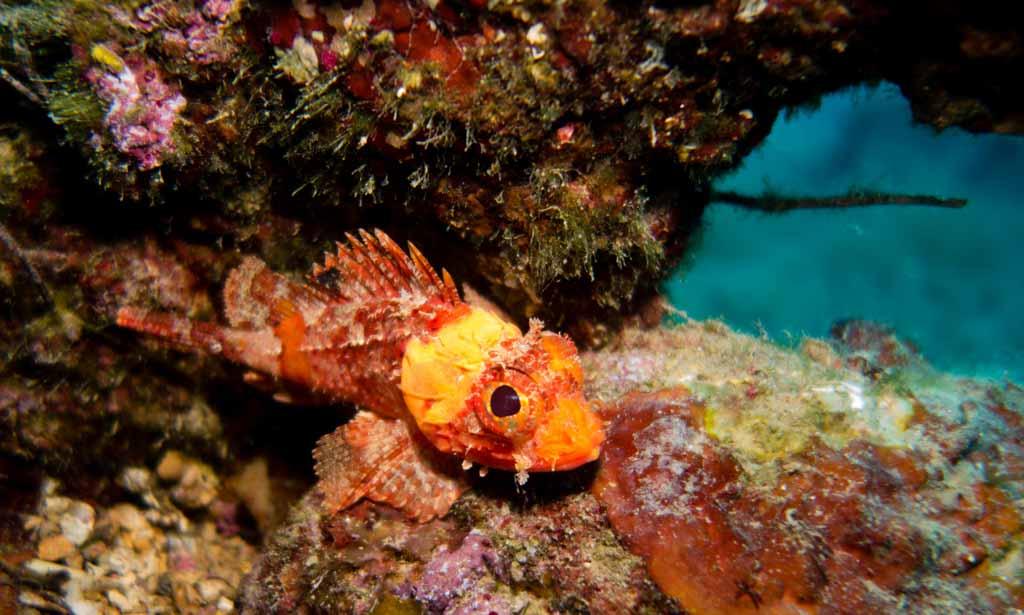 scorpionfish croatia