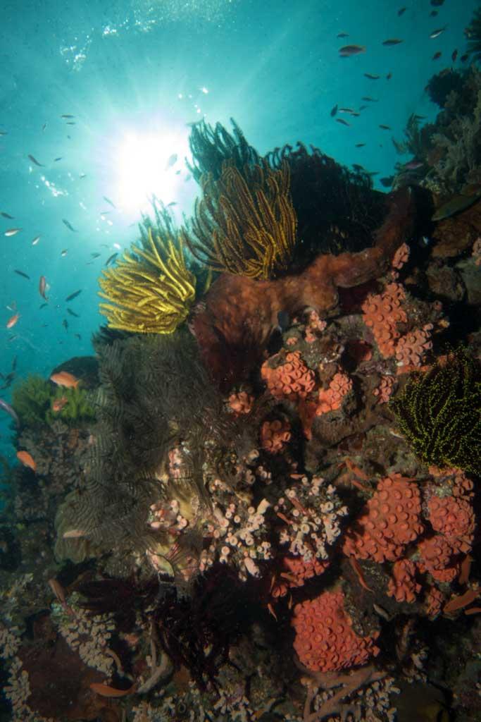 coral timor leste