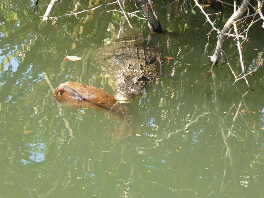 crocodile timor leste