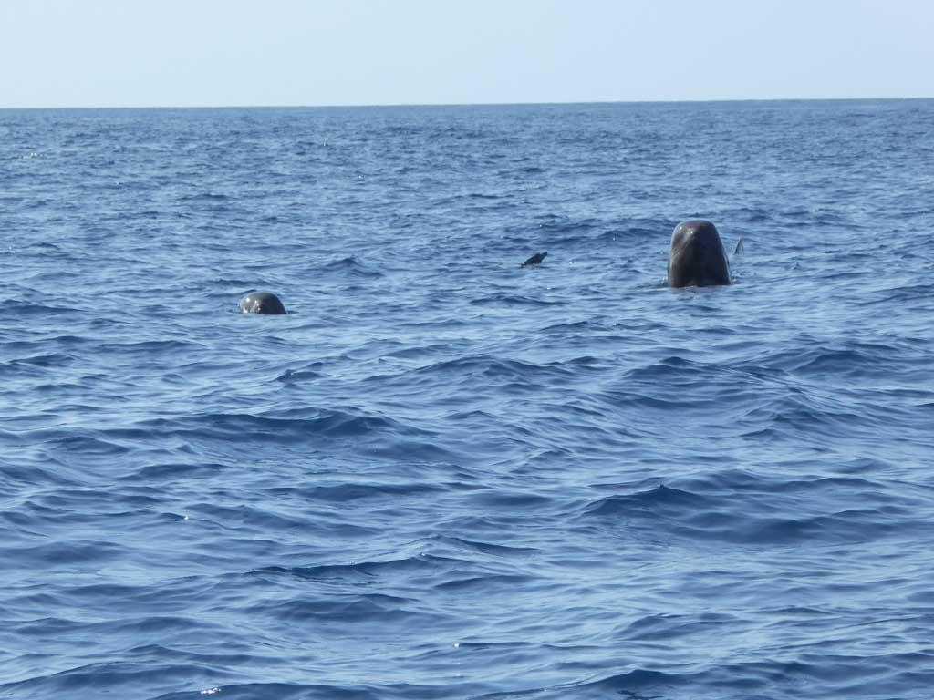 pilot whale timor leste