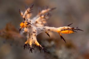 dendronotus