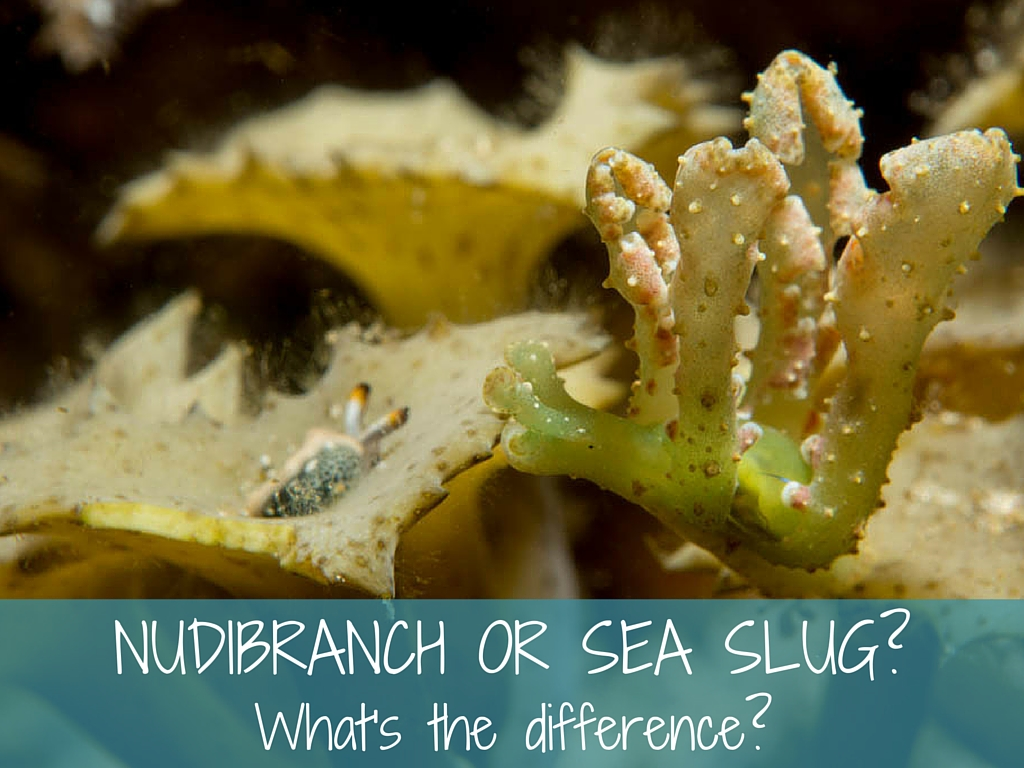 nudibranch or sea slug