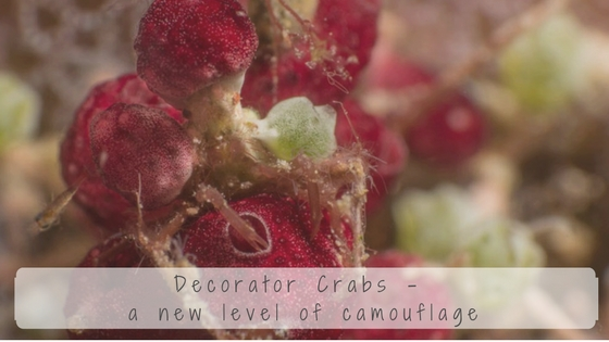 decorator crab facts