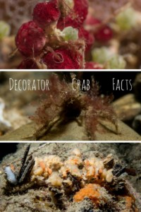 Decorator Crab Facts Pinterest