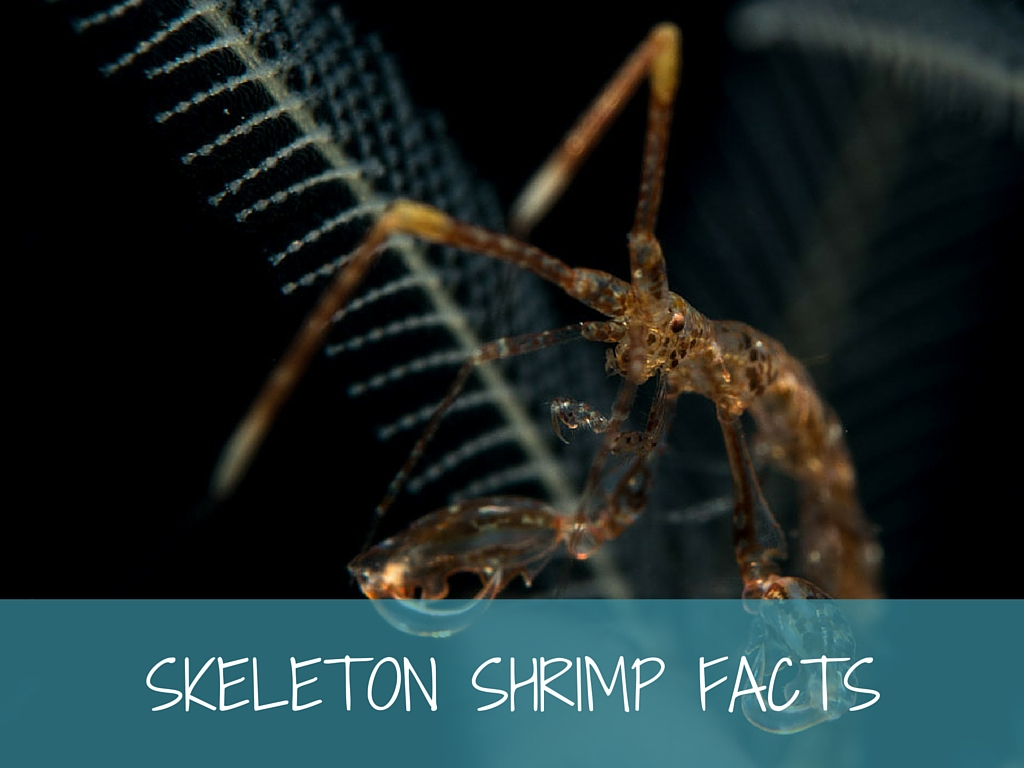 skeleton shrimp facts