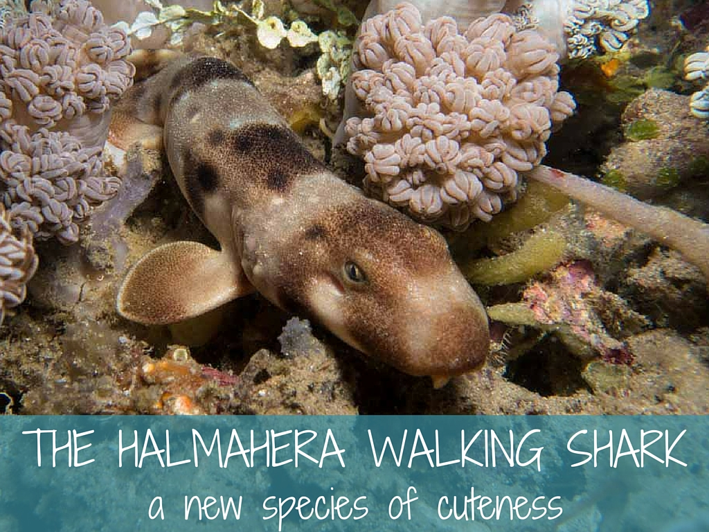 halmahera walking shark