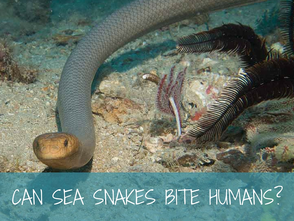 can sea snakes bite humans