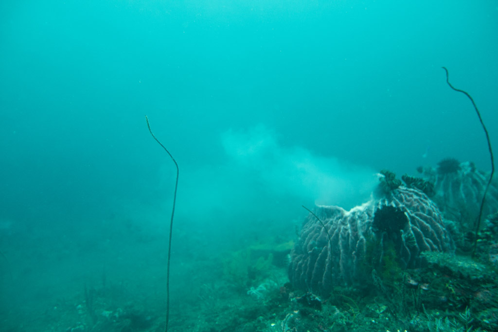 spawning sponge