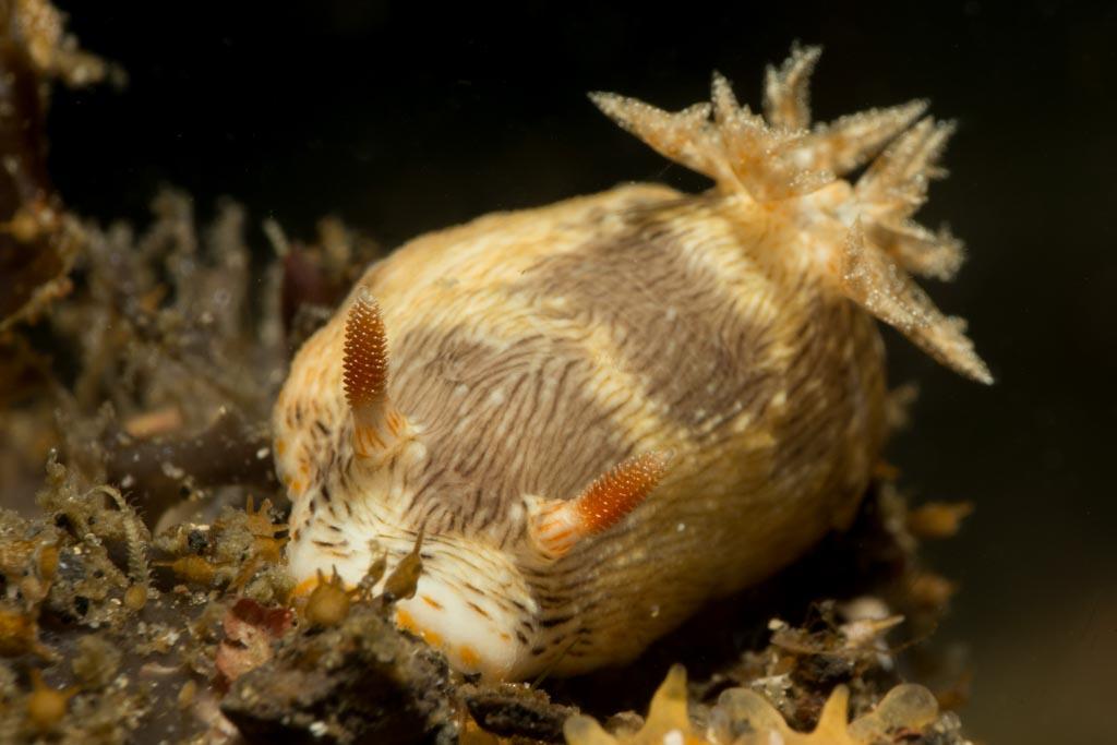 nudibranch alor