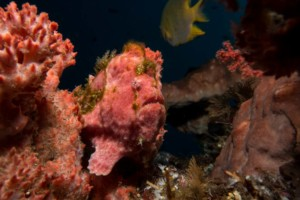 frogfish on sponge