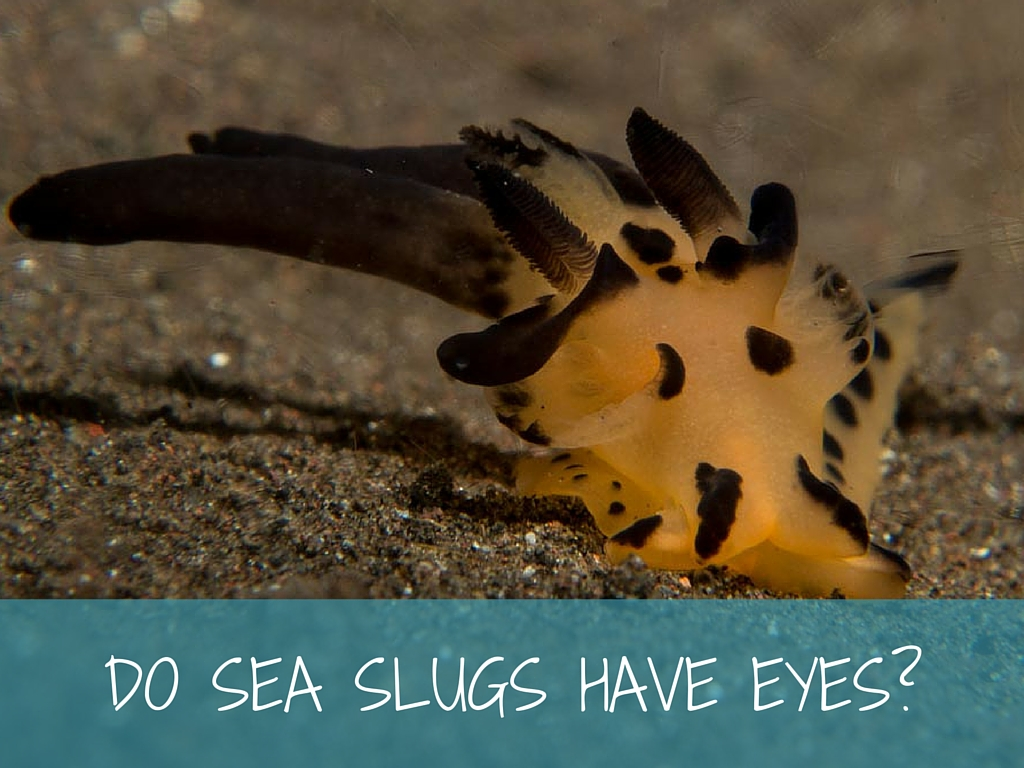 do sea slugs have eyes