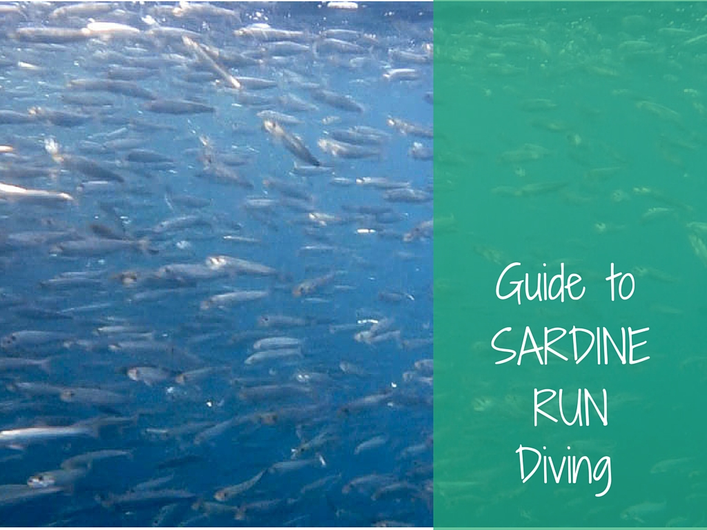 guide to sardine run diving
