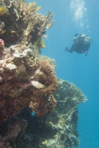 diver at great barrier reef