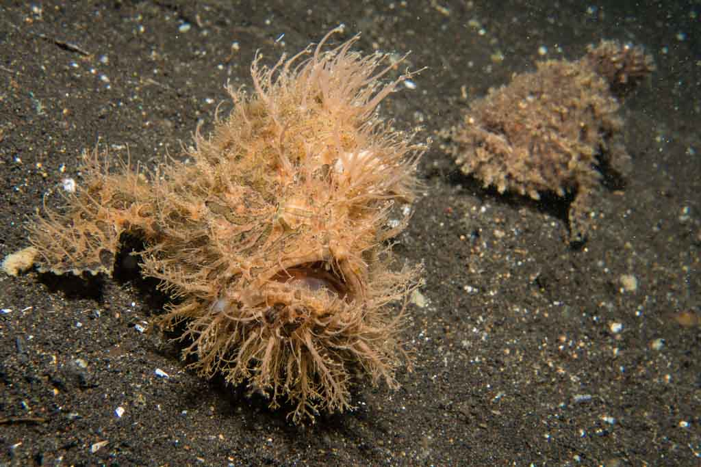 hairy frog fish lembeh
