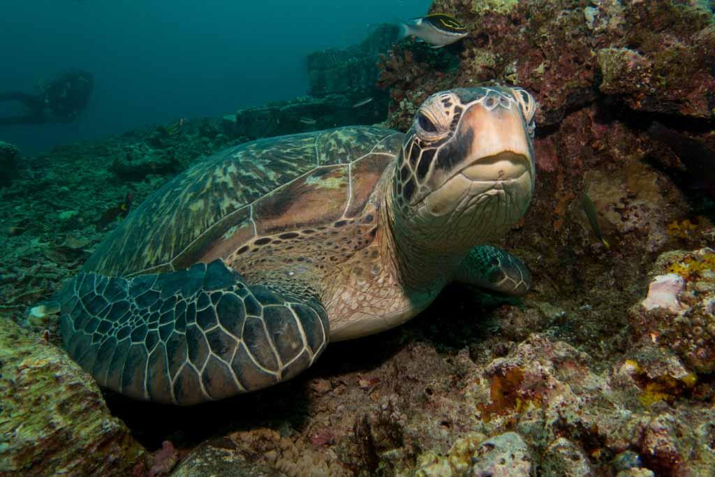 turtle gilis