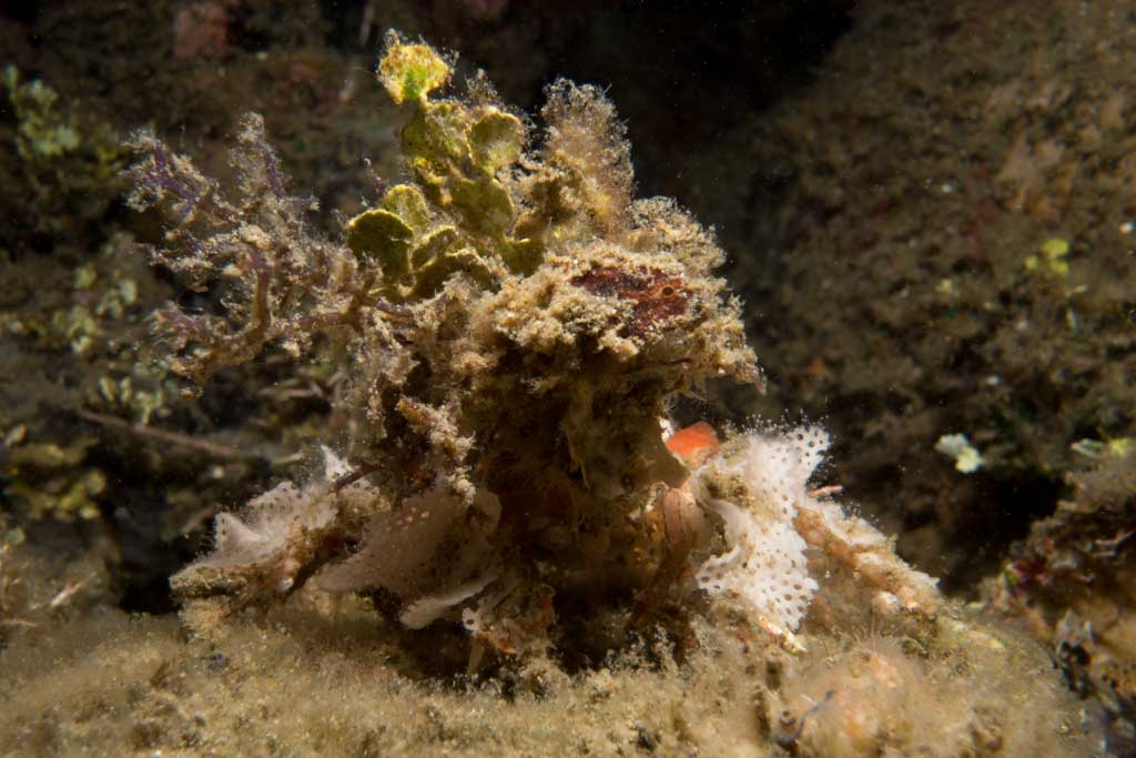 decorator crab camouflage