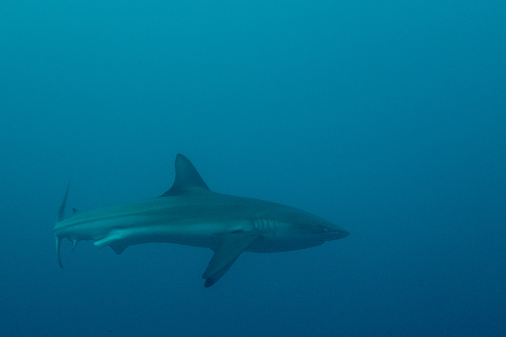 shark at sardine run