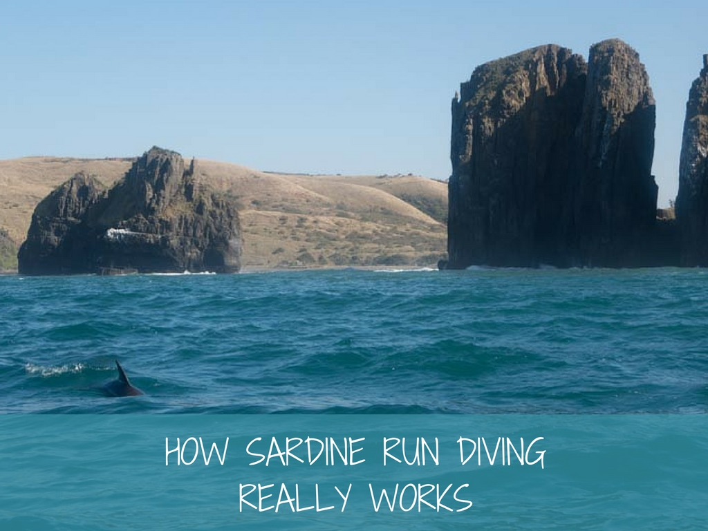 how sardine run diving really works