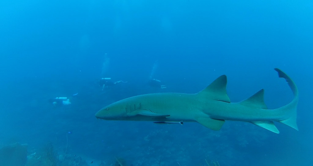 Nurse Shark Belize