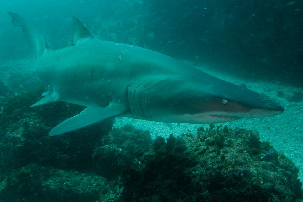 Grey Nurse Shark Australia