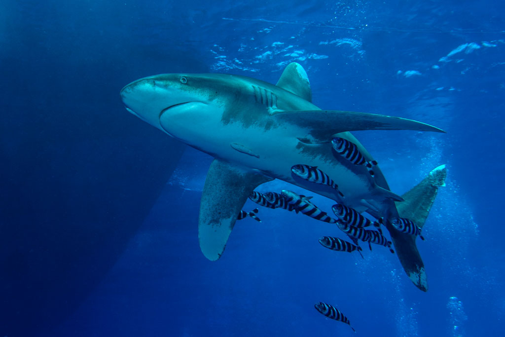 Oceanic White Tip Shark, Brother Islands, Egypt