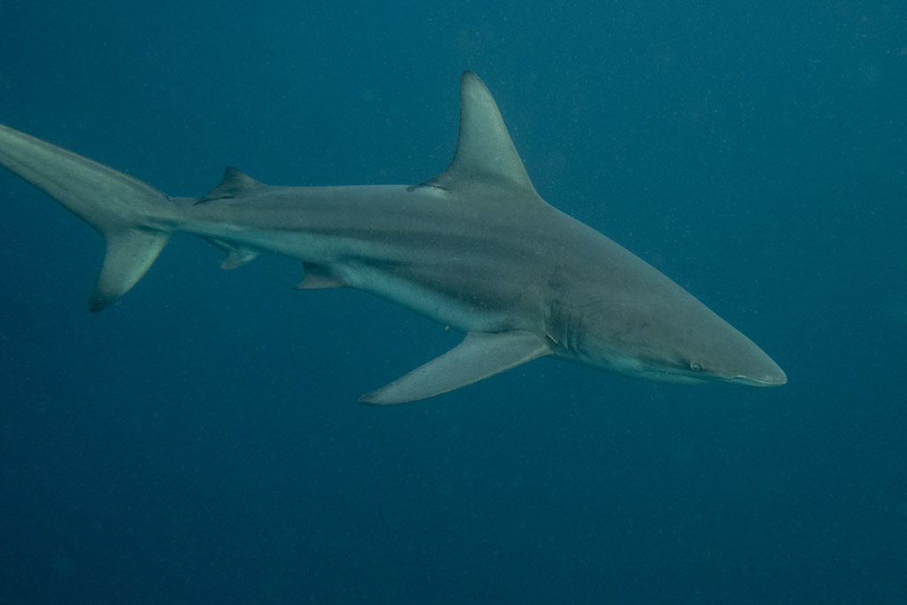 Oceanic Black Tip Shark