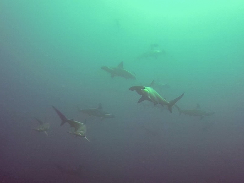 Shark Diving in Cocos Island