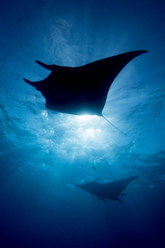 manta conservation project