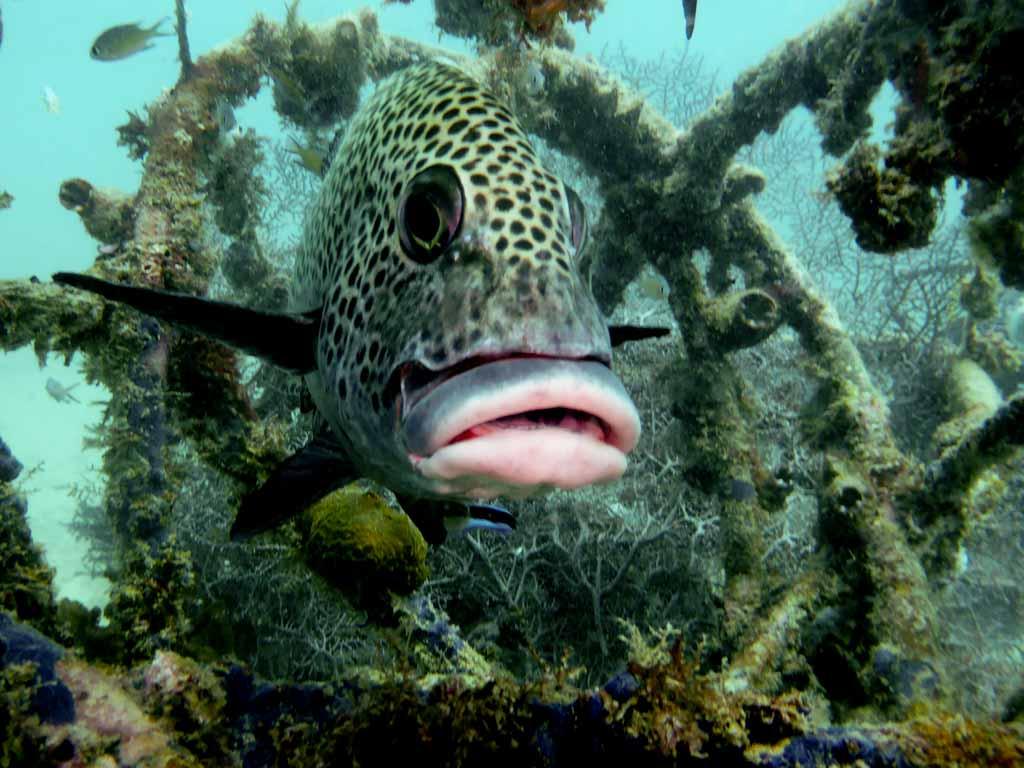 sweetlip in artificial reef
