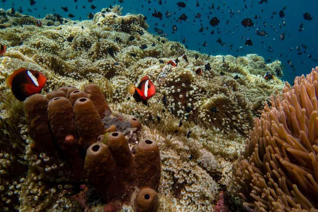 anemone timor leste
