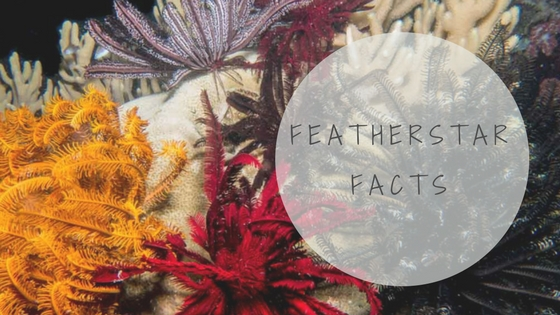 featherstar facts