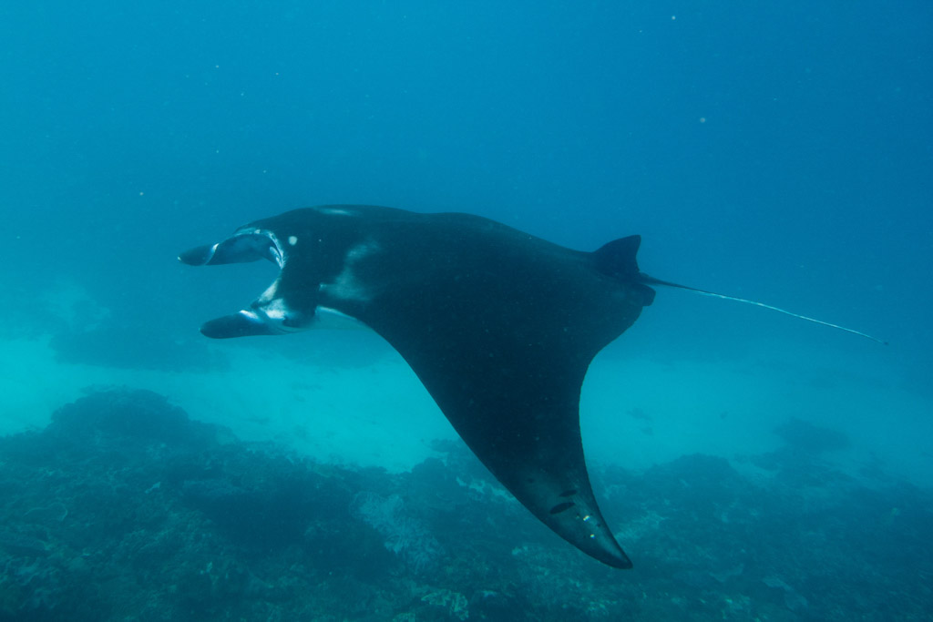 Ultimate Guide to Dive Bali - Manta