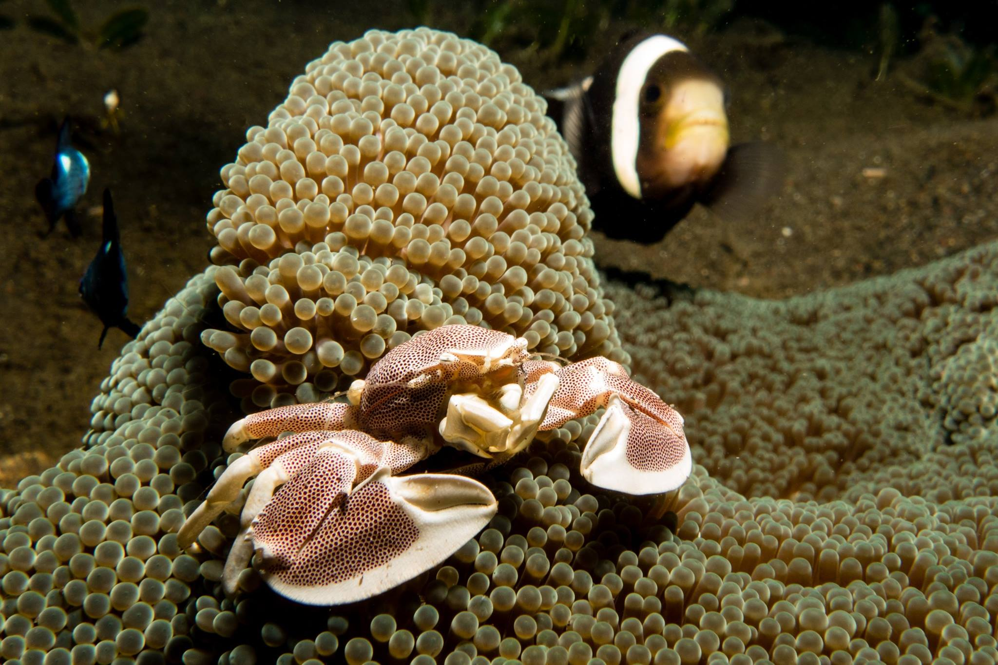clownfish and porcelain crab