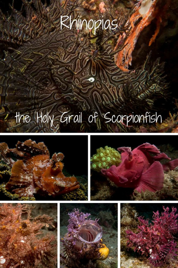 rhinopias - the holy grail of scorpionfish