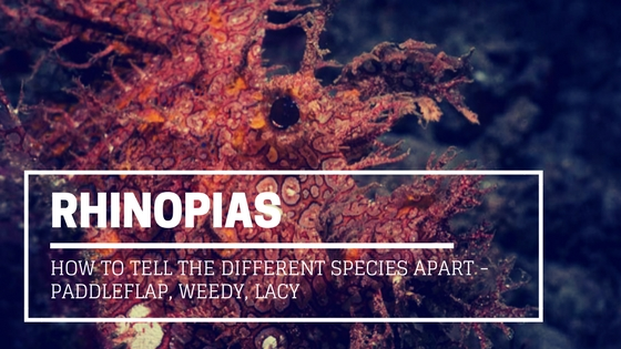 rhinopias and how to tell the different species apart