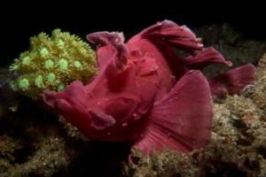 Paddleflap Rhinopias Padangbai