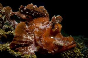 paddleflap Rhinopias alor