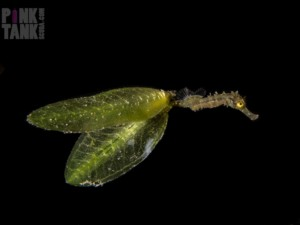 Tinkerbell Seahorse